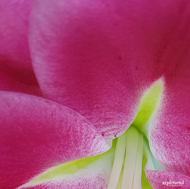 PinkLilyCloseUp